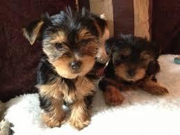 Cachorro yorkie registrado para adopción