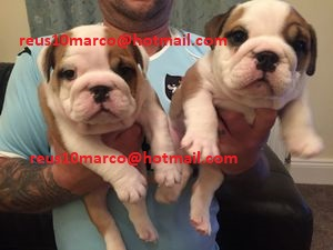 English bulldog puppies solo para casas especiales
